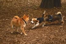 shiba & beagle playing caniparc levallois