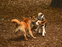 beagle and shiba dog playing levallois caniparc