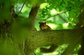 un écureuil surveille Jaeger du haut de sa branche