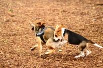 beagle bitting shiba dog levallois caniparc
